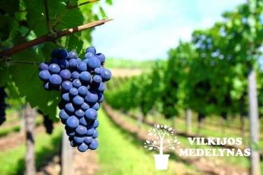 Vynuogė Alden