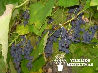 Vynuogė Festivee