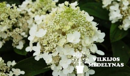Šluotelinė hortenzija 'BABY LACE'