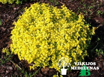 Lanksva japoninė 'GOLDEN CARPET'