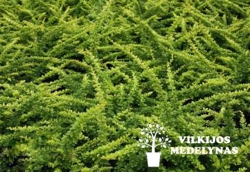 Raugerškis tunbergo 'GREEN CARPET'