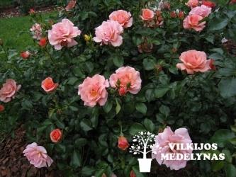 Rožė 'APRIKOLA'