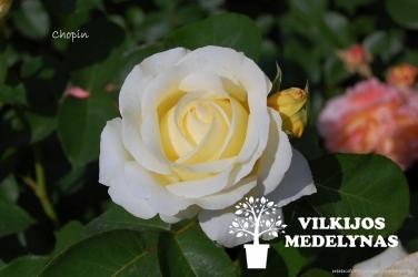 Rožė 'CHOPIN'