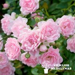 Rožė 'THE FAIRY'