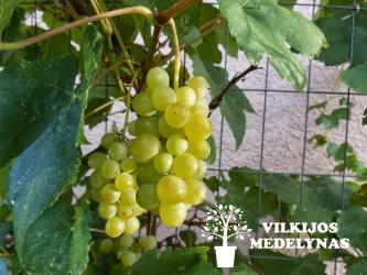 Vynuogė 'HIMROD'