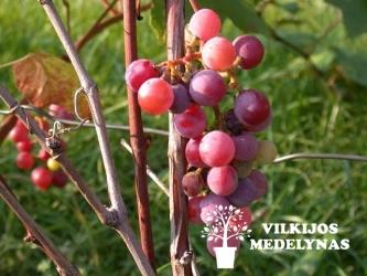 Vynuogė 'KONKORD ROSYJSKI'