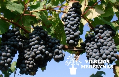 Vynuogė 'NEW YORK MUSCKAT'