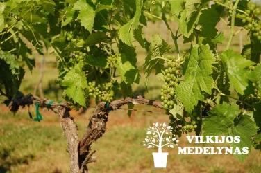 Vynuogė 'SEYVAL'