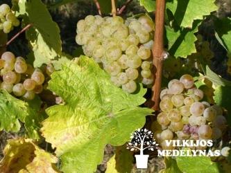 Vynuogė 'VOSTORG'