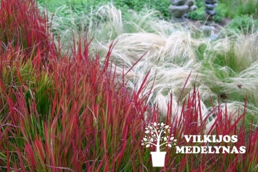 Imperata rytinė 'RED BARON'