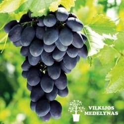 Vynuogė 'FREDONIA'