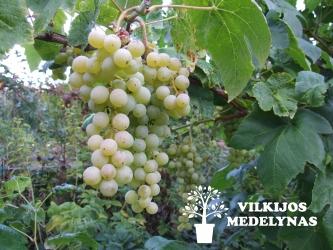 Vynuogė 'INTERLAKEN'
