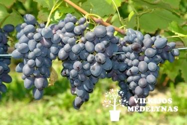 Vynuogė 'KODRIANKA'