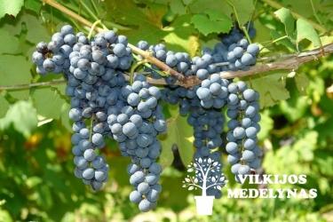 Vynuogė 'SCHUYLER'